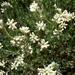 Dorycnium pentaphyllum - Photo (c) Isidre blanc, algunos derechos reservados (CC BY-SA)