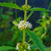 European Water-Horehound - Photo (c) H. Zell, some rights reserved (CC BY-SA)