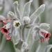 Cynoglossum cheirifolium - Photo (c) Ferran Turmo Gort, some rights reserved (CC BY-NC-SA)