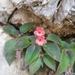 Gesnerieae - Photo (c) Héctor-Gómez, algunos derechos reservados (CC BY-NC)