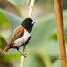 Tricolored Munia - Photo (c) drjayf, some rights reserved (CC BY-NC-ND)