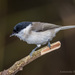 Marsh Tit - Photo (c) Александр, some rights reserved (CC BY-NC)