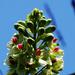 Caesalpinia minax - Photo (c) 葉子, algunos derechos reservados (CC BY-NC-ND)