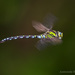 Aeshna cyanea - Photo (c) Александр, algunos derechos reservados (CC BY-NC-ND)