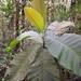 Bathysa australis - Photo (c) João Gava Just, some rights reserved (CC BY-NC)
