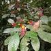Psychotria nuda - Photo (c) João Gava Just, osa oikeuksista pidätetään (CC BY-NC)