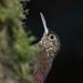 Trepatroncos Moteado - Photo (c) Josh Vandermeulen, algunos derechos reservados (CC BY-NC-ND)