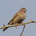 Cut-throat Finch - Photo (c) Mikael Bauer, some rights reserved (CC BY-NC)