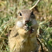Old World Ground Squirrels - Photo (c) vio76, some rights reserved (CC BY-NC)