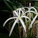 Crinum asiaticum - Photo (c) Cody Hough, μερικά δικαιώματα διατηρούνται (CC BY-SA)