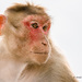 Bonnet Macaque - Photo (c) Anil Kumar Verma, some rights reserved (CC BY-NC)