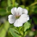 Mecardonia acuminata acuminata - Photo (c) Bob Peterson, μερικά δικαιώματα διατηρούνται (CC BY-SA)