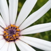 Trailing African Daisy - Photo (c) d_kluza, some rights reserved (CC BY-NC-ND)
