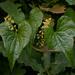 טמוס מצוי - Photo (c) --Tico--,  זכויות יוצרים חלקיות (CC BY-NC-ND)