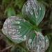 Phytomyza agromyzina group - Photo (c) M. Goff, algunos derechos reservados (CC BY-NC-SA)