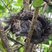 Ardilla Gris del Pacífico - Photo (c) Cheryl Harleston López Espino, algunos derechos reservados (CC BY-NC-ND)