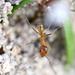 Dorymyrmex bureni - Photo (c) Joshua Doby, algunos derechos reservados (CC BY-NC)
