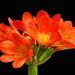 Clivia - Photo (c) James Gaither, μερικά δικαιώματα διατηρούνται (CC BY-NC-ND)