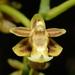 Cleisostoma paniculatum - Photo (c) 葉子,  זכויות יוצרים חלקיות (CC BY-NC-ND)