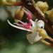 Blastus cochinchinensis - Photo (c) 葉子, alguns direitos reservados (CC BY-NC-ND)
