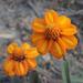 Zinnia angustifolia - Photo (c) Chris Lloyd, osa oikeuksista pidätetään (CC BY-NC)