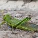 Tropidacris collaris - Photo (c) André Menegotto,  זכויות יוצרים חלקיות (CC BY-NC)