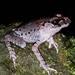 Leptobrachium hasseltii - Photo (c) Tom Kirschey, μερικά δικαιώματα διατηρούνται (CC BY-NC)