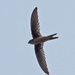 Asian Palm-Swift - Photo (c) Jerry Oldenettel, some rights reserved (CC BY-NC-SA)