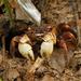 Tiomanium indicum - Photo (c) Julien Renoult, algunos derechos reservados (CC BY)