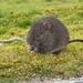 Australian Swamp Rat - Photo (c) James Bailey, some rights reserved (CC BY-NC)