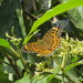 Argynnis castetsi - Photo (c) Vinayaraj,  זכויות יוצרים חלקיות (CC BY-SA)