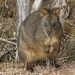 Red-bellied Pademelon - Photo (c) James Bailey, some rights reserved (CC BY-NC)