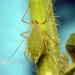 Pulgón Verde del Chícharo - Photo (c) Andrew Jensen, algunos derechos reservados (CC BY-NC-SA)