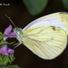 Green-veined White - Photo (c) Marcello Consolo, some rights reserved (CC BY-NC-SA)