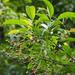 Turpinia indochinensis - Photo (c) 葉子,  זכויות יוצרים חלקיות (CC BY-NC-ND)