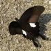 Papilio helenus - Photo (c) Nidhin Cyril Joseph, algunos derechos reservados (CC BY-NC)