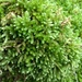 Spoon-leaved Moss - Photo (c) jbrowndorf, some rights reserved (CC BY-NC)
