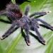 Avicularia avicularia - Photo (c) Jennalee John, osa oikeuksista pidätetään (CC BY-NC)