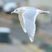 Iceland Gull - Photo (c) Steven Mlodinow, some rights reserved (CC BY-NC)