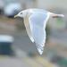 Gaivota-Branca - Photo (c) Steven Mlodinow, alguns direitos reservados (CC BY-NC)