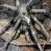 False Tarantula - Photo (c) Robin Gwen Agarwal, some rights reserved (CC BY-NC)