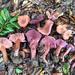 Laccaria amethysteo-occidentalis - Photo (c) Damon Tighe, osa oikeuksista pidätetään (CC BY-NC)