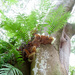 Drynaria rigidula - Photo (c) Wendy Cutler, μερικά δικαιώματα διατηρούνται (CC BY)