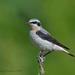 Northern Wheatear - Photo (c) Геннадий, some rights reserved (CC BY-NC)