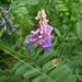 Vicia amoena - Photo (c) Evgeny Boginsky, algunos derechos reservados (CC BY-NC)