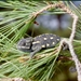 Chamaeleo chamaeleon recticrista - Photo (c) Roberto Sindaco, some rights reserved (CC BY-NC-SA)