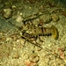 Green Spiny Lobster - Photo (c) Cristian M. Galván Villa, some rights reserved (CC BY-NC)