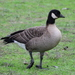 Cackling Goose - Photo (c) Damon Tighe, some rights reserved (CC BY-NC)