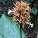 Goeppertia altissima - Photo (c) Mike Tidwell,  זכויות יוצרים חלקיות (CC BY-NC)