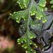 Hymenophyllaceae - Photo (c) Pat Enright, algunos derechos reservados (CC BY-NC)